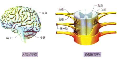 人体(动物体)的结构层次:细胞→组织→器官→系统