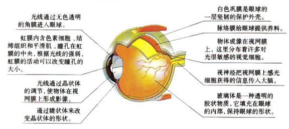 信鸽眼解刨图_眼睛的平面结构图 _网络排行榜