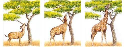 长颈鹿的进化