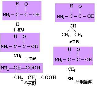 蛋白质分子的结构 (1)基本组成单位——氨基酸