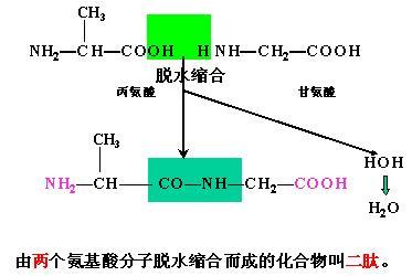 蛋白质是由多个氨基酸分子通过肽键相互连接而成的高分子化合物