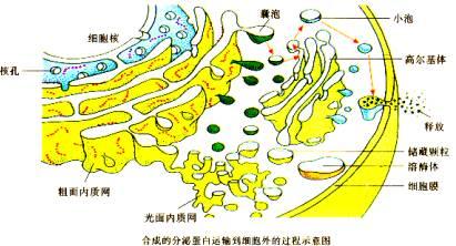 动物细胞器图片