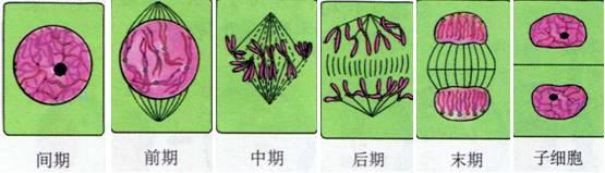 分裂末期:两消两现重开启   知识点3 :动,植物细胞有丝分裂过程的区别