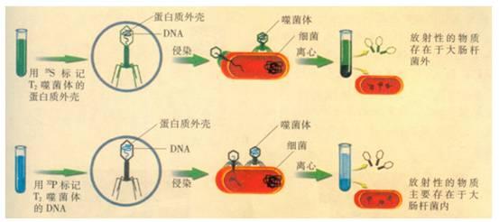 在噬菌体侵染细菌的实验中,用32p和35s标记细菌,将一无放射性的噬菌体