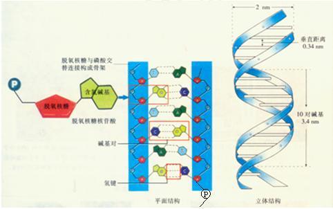 dna分子独特的双螺旋结构