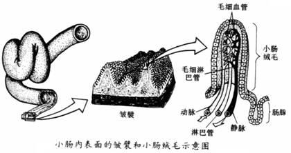 腺+��\y���l9�.����(c9��_除肠壁上的肠腺分泌消化液进入小肠外,还有哪些消化腺分泌的消化液