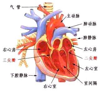 肾的结构 如图所示,外层是皮质