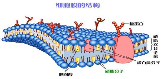 二,重点,难点: 重点:细胞膜的分子结构和主要功能,叶绿体,线