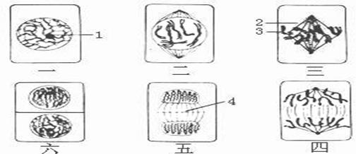 7.(7分)研究中发现,内含识别红细胞表面抗原的血清与红细胞作用后,红细胞会发生破裂现象。某研究人员为便于实验结果的观察,将抗原A连结到山羊红细胞(简称SRBC)表面,抗原A即成为SRBC的表面抗原,以SRBCA表示。接着,将抗原A注射到小鼠体内,获得内含识别抗原A的血清,简称抗A血清。下表中的资料是此研究人员进行实验的条件与结果。表中符号表示在试管中加入该实验材料;+表示红细胞发生破裂;-则表示红细胞没有破裂。