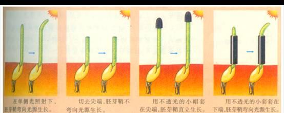 生长素的化学成分是吲哚乙酸