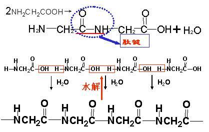 (4)氨基酸分子的结构有什么特点 ①含有-nh 2及-cooh ②除甘氨酸外