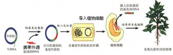 知识点二:基因工程基本操作程序的四个步骤
