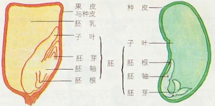 种子的结构