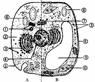 (12分)下图是动植物细胞亚显微结构模式图
