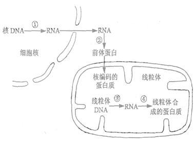下图为胚珠结构及荠菜胚的发育